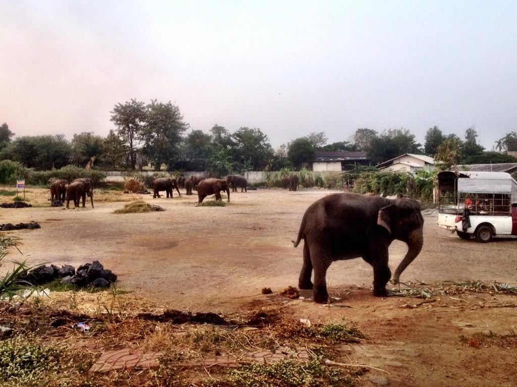 Slony v Ayutthayi. Su priputane retazou o zem,  takze ziadna idylka
